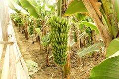 Duża ręka zieleni banany na drzewko palmowe gałąź przed zbiera sezonem Zdjęcie Royalty Free
