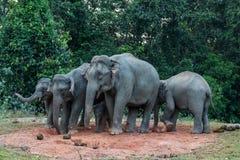 Duża rodzina je solankowego liźnięcie Dziki słoń obrazy royalty free