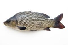 duża ryba fotografia royalty free