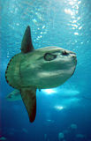 duża ryba Zdjęcia Royalty Free