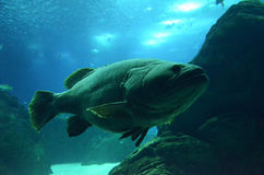 duża ryba zdjęcie stock