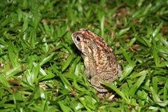 Duża tropikalna żaba (przy nocą) Obrazy Royalty Free