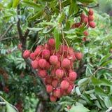Duża wiązka dojrzali czerwoni lychees wiesza w dół od Zdjęcie Royalty Free