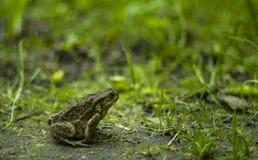 Duża zieleni ziemi żaba w trawie Fotografia Royalty Free