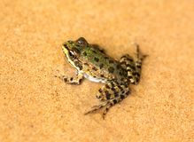 Duża zielona żaba Obraz Royalty Free