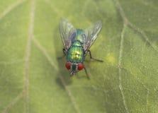 Duża zielona komarnica na liściu obraz stock