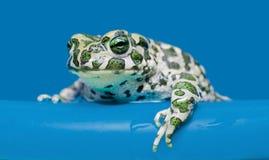duże żab Obrazy Royalty Free