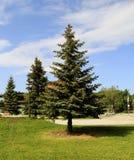 duże błękitne jodły w parku zdjęcie royalty free