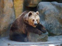 Duże brown niedźwiadkowe łapy siedzi na skale Zdjęcie Royalty Free
