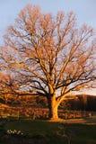 Duże Dębowe gałąź zaświecać zmierzchu światłem Zdjęcie Royalty Free