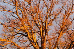 Duże Dębowe gałąź zaświecać zmierzchu światłem, abstrakcjonistyczny natury tło Zdjęcia Royalty Free