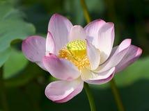 duże lotos różowy Fotografia Royalty Free