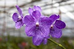 Duże marynarki wojennej błękita kwiatu orchidee pięknych okwitnięć zamknięty up Storczykowy kwiat na gałąź w ogródzie orchidee Ta Obrazy Royalty Free