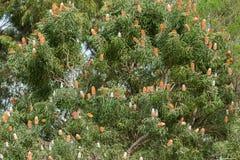 Dużego Acorn Banksia drzewny pełny kwiatostanu kwiatu kolce wewnątrz W ten sposób Fotografia Royalty Free