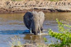 Dużego byka Afrykański słoń Watuje Przez Mara rzekę fotografia royalty free