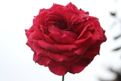 Dużego czerwieni róży zakończenia naturalny backgound Obrazy Royalty Free