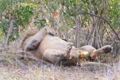 Dużego figlarnie męskiego lwa łgarski puszek na plecy Zdjęcie Stock