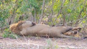 Dużego figlarnie męskiego lwa łgarski puszek na plecy Zdjęcia Stock