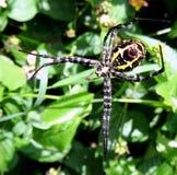 Dużego Grubego Czarnej wdowy pająka Rzucona sieć w ogródzie Zdjęcia Royalty Free