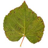 Dużego liścia topolowy drzewo Fotografia Royalty Free