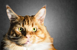 Dużego Maine coon kota czerwony pomarańczowy portret Fotografia Royalty Free