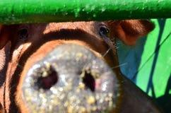 Dużego pięknego brązu świniowata dysza w górę Gospodarstwo rolne, rolniczy biznes, tło, tekstura zdjęcie royalty free