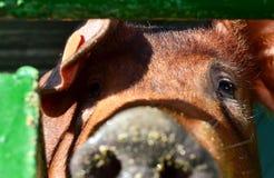 Dużego pięknego brązu świniowata dysza w górę obrazy stock