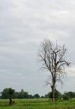 Dużej wysokości nieżywy drzewo Obrazy Stock