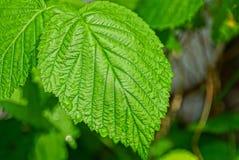 dużej zieleni mokry malinowy liść z wodnymi kroplami obrazy stock