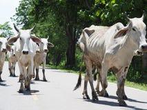 Dużo biały krowa spacer na gorącej drodze w wsi obrazy stock