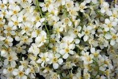 Dużo białych kwiatów drzewo czereśniowego drzewa dekoracyjny tło typ obraz stock