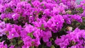 Dużo jeżeli menchie lub purpury kwitną Obrazy Stock