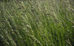 Dużo karzą grzywną spikelets i zielonej trawy ziele Fotografia Royalty Free