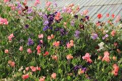 Dużo kwitnie Lathyrus w ogródzie w Anglia w lecie obraz royalty free