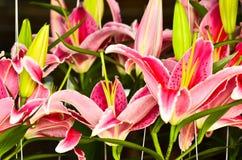 Dużo Różowią lilly Zdjęcie Stock