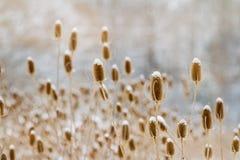 Dużo teasel badyle stoi w łące w zimie zakrywającej z śniegiem Fotografia Stock