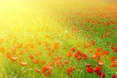 duży łąkowa czerwień Zdjęcia Royalty Free