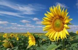 duży łąkowi słoneczniki obrazy stock