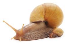 Duży ślimaczek z małym ślimaczkiem Obrazy Stock