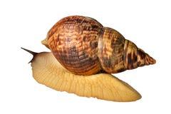 Duży ślimaczka Achatina fulica Obraz Stock