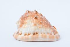 Duży ślimakowaty denny skorupy zbliżenie Zdjęcia Royalty Free