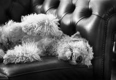 Duży śmieszny Airedale psa dosypianie na luksusowej Chesterfield leżance Zdjęcia Royalty Free