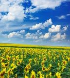 duży śródpolni słoneczniki fotografia stock