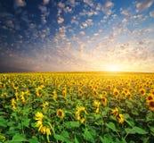 duży śródpolni słoneczniki obraz royalty free