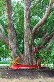 Duży święty drzewo Fotografia Royalty Free