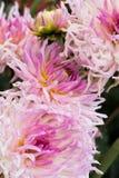 Duży światło - różowe dalie Fotografia Stock