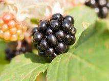 Duży świeży dojrzały czernicy zakończenie up na liścia Rubus fruticosus fotografia stock