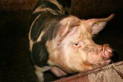 duży świnia Obrazy Royalty Free
