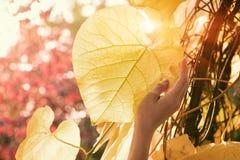 Duży żółty drzewny urlop z sunbeams z ręką Fotografia Royalty Free