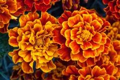 Duży żółty nagietek kwitnie w ogródzie, odgórny widok Obraz Royalty Free